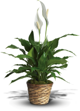 Spathiphyllum - Small