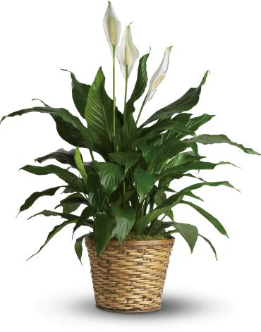 Spathiphyllum - Medium